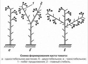 Томат Черника: характеристика и описание сорта