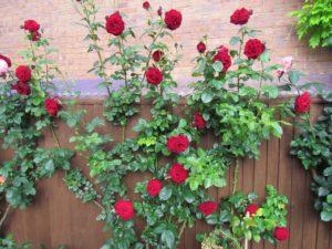 Плетистая роза посадка осенью и уход в открытом грунте