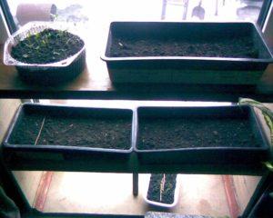 Выращивание гвоздики Шабо из семян в домашних условиях