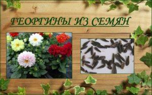 Низкорослые георгины: сорта и фото
