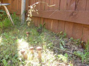 как вырастить грибы на садовом участке