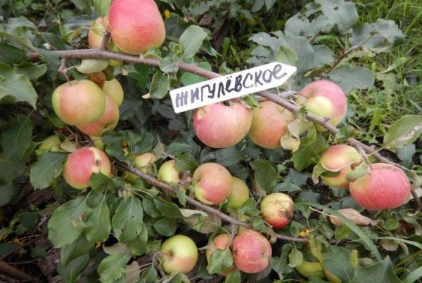 Особенности сорта яблони Жигулевское с фото и видео
