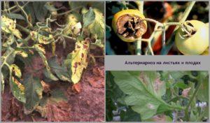 Томат Негритенок: характеристика и описание сорта