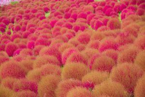 Кохия: посадка семян, когда сажать на рассаду
