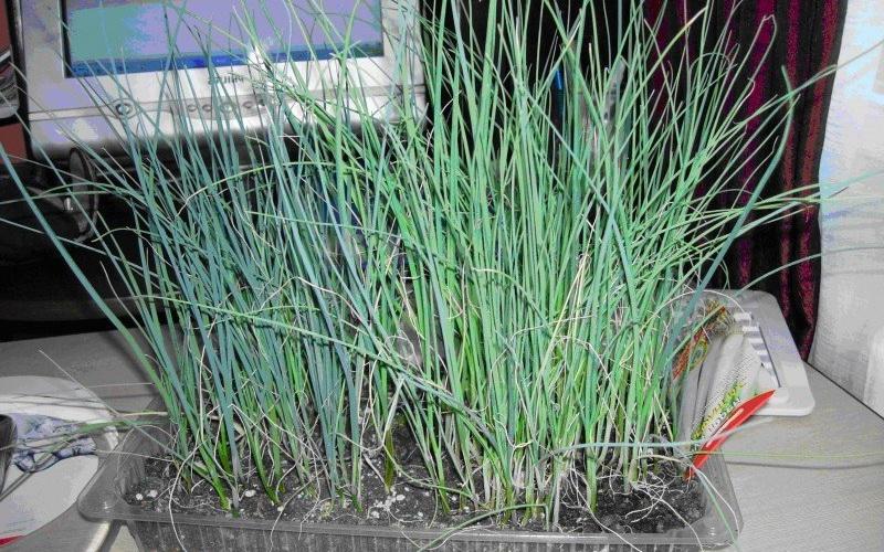 Как вырастить зеленый лук дома