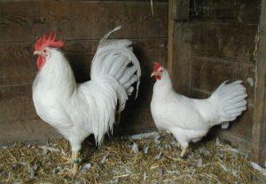 Породы кур-несушек с фотографиями и названиями