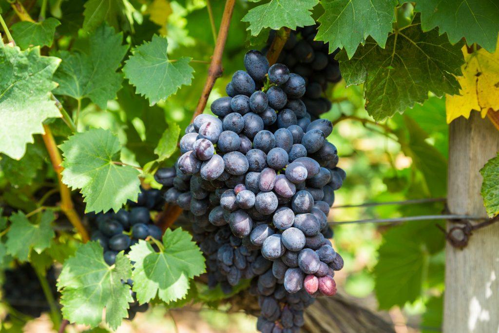 Виноград Фурор описание сорта и выращивание плюсы и минусы вида с фото