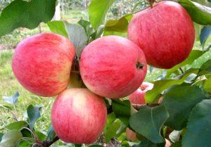 Мелба красная яблоня описание фото