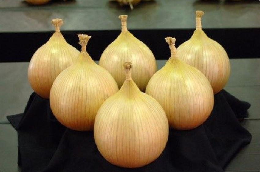 Лук Эксибишен: выращивание из семян, через рассаду, отзывы и советы