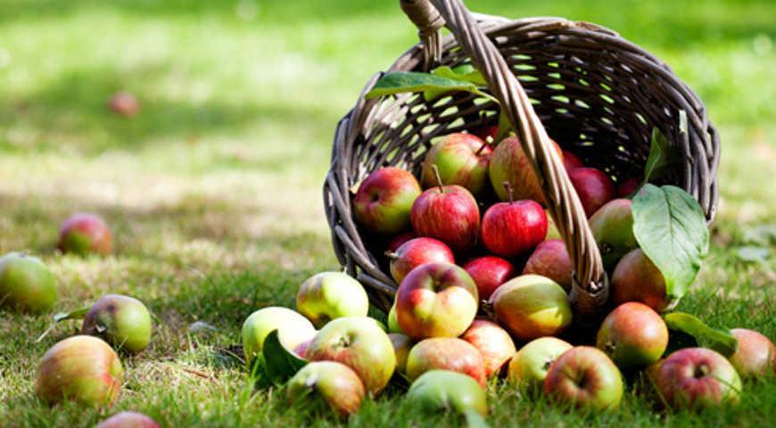 Длительное хранение яблок в погребе