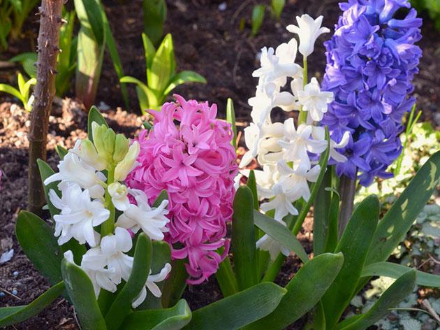 Посадка гиацинтов весной и осенью в открытый грунт: когда и как сажать, правила ухода и выращивания