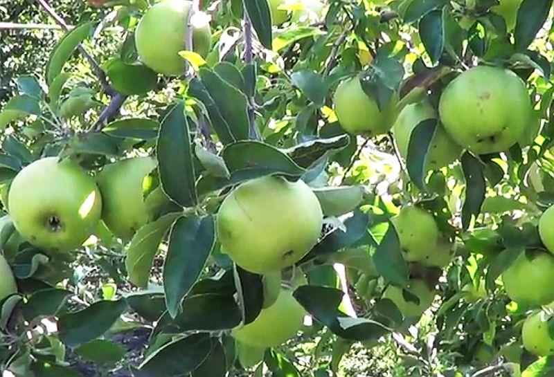Описание сорта яблони Семеренко, особенности сорта, посадки и ухода за деревом
