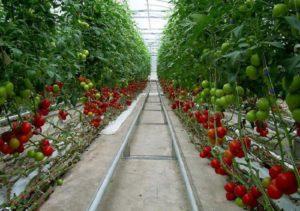 Томат Райское Наслаждение: отзывы, фото, урожайность