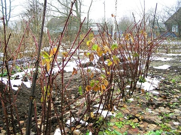 Ежевика: обрезка и подготовка к зиме