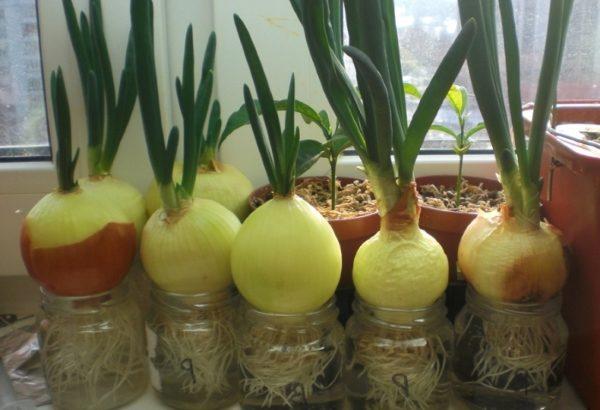 Как правильно выращивать зеленый лук в домашних условиях?