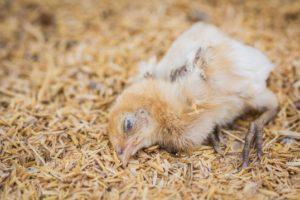 Болезни домашних кур: симптомы и лечение