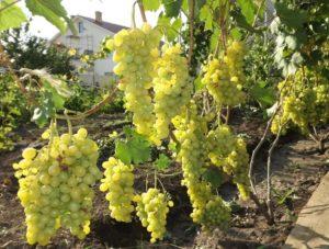 Виноград Плевен: устойчивый, мускатный, Августин
