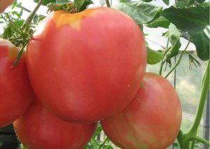 Томат Царь-колокол: отзывы, фото, урожайность