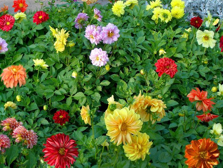 Георгины веселые ребята: описание и фото цветка, выращивание и уход