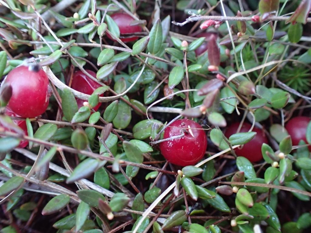 С какого числа можно собирать клюкву, правила сбора ягод, как и где растет клюква