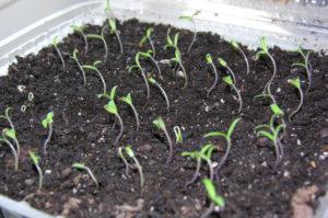 Помидоры Спрут f1: как выращивать в открытом грунте и в теплице