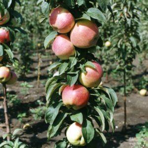 Как пересадить яблоню осенью на новое место