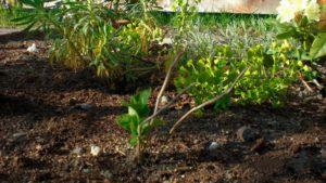 Гортензия древовидная грандифлора посадка и уход в открытом грунте