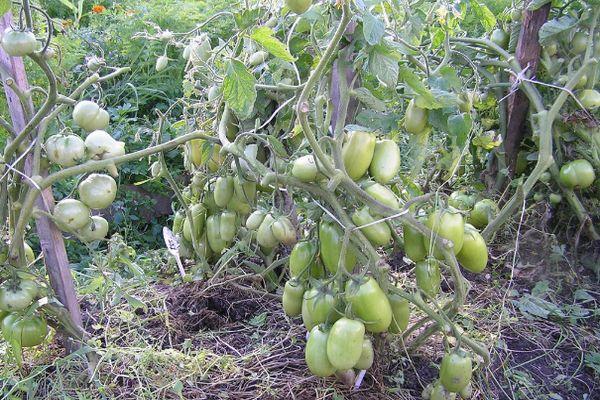 Зелные помидоры в кастрюле под гнтом