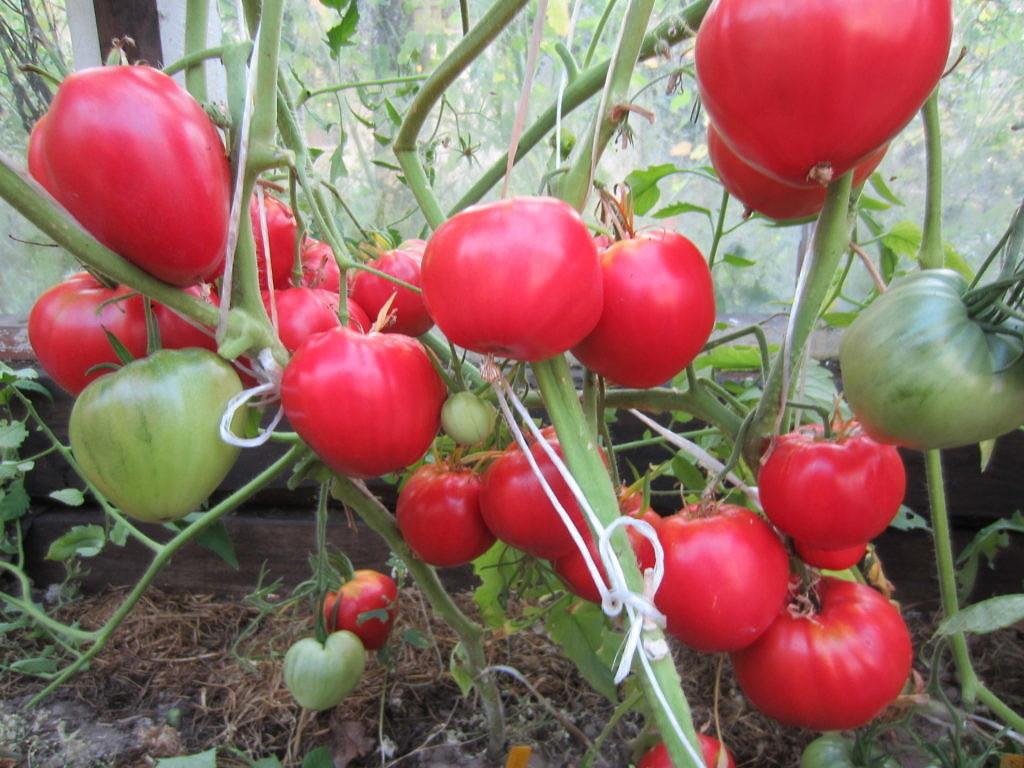 Томат Данко характеристика и описание сорта процесс выращивания с фото