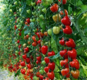 Томат Клубничное дерево: отзывы, фото, урожайность