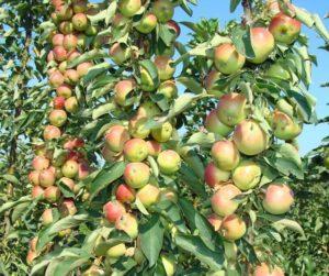 Какие колоновидные плодовые деревья бывают