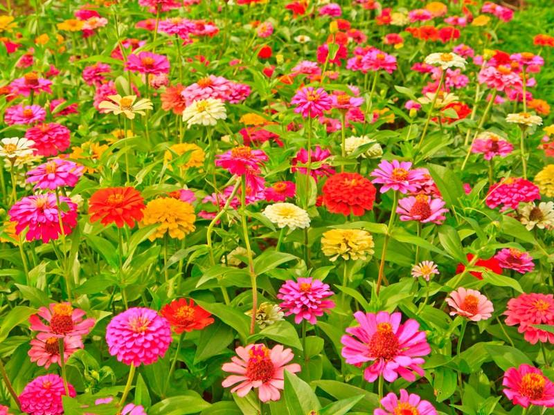 Вырастить рассаду цинии в домашних условиях