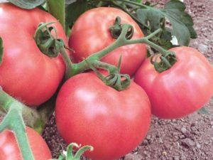 Томат Розовый царь: отзывы, фото, урожайность