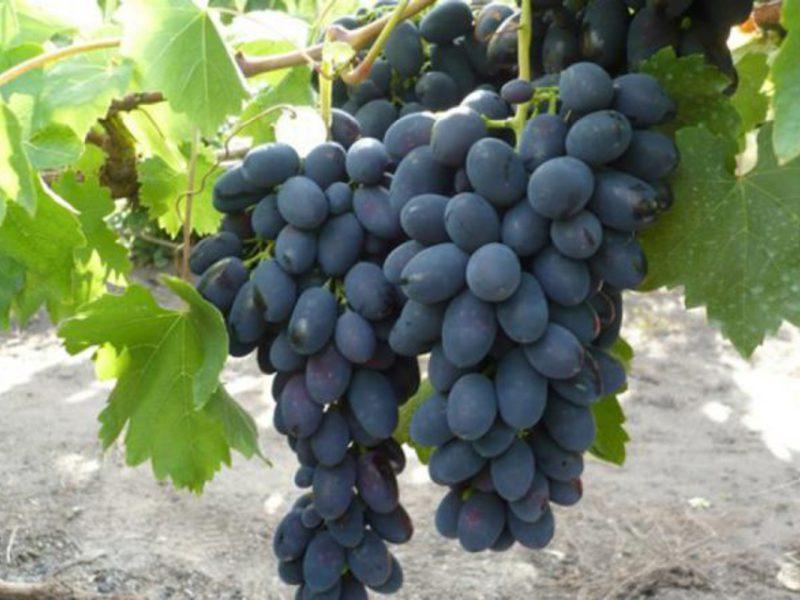 Виноград загадка шарова описание сорта фото отзывы