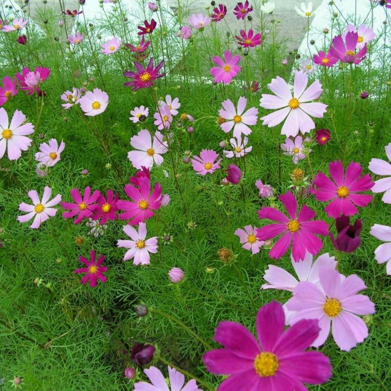 Космея махровая: выращивание из семян, когда можно сажать, видео