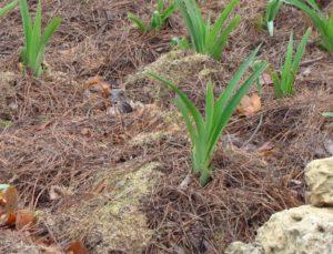 Лилии и лилейники посадка и уход в открытом грунте