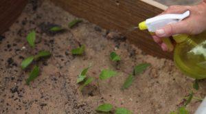 Как размножить клематис черенками летом, весной, осенью