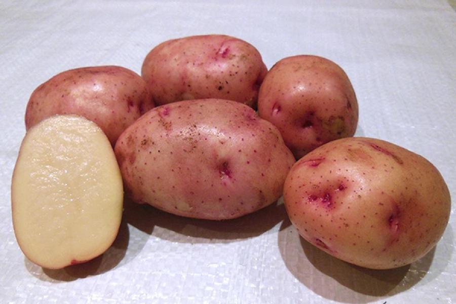 Картофель Жуковский ранний описание и характеристика сорта урожайность с фото
