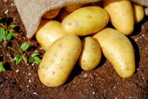 Картофель сорта коломбо описание сорта фото