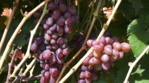 Виноград Шоколадный (Марадона): описание сорта, фото, отзывы