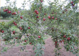 Описание яблони Коваленковское