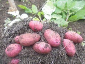 Сорт картофеля Мерлот
