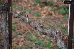 Виноград Алекса: описание сорта, фото