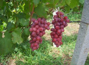 Виноград Сенатор: описание сорта, фото