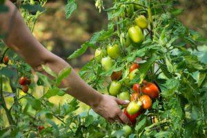 Томат Гусиное яйцо: отзывы, фото, урожайность