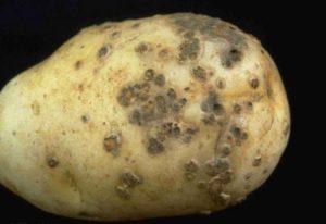Картофель Ривьера: описание сорта, отзывы