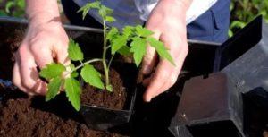 Томат Сибирский козырь: характеристика и описание сорта, урожайность с фото