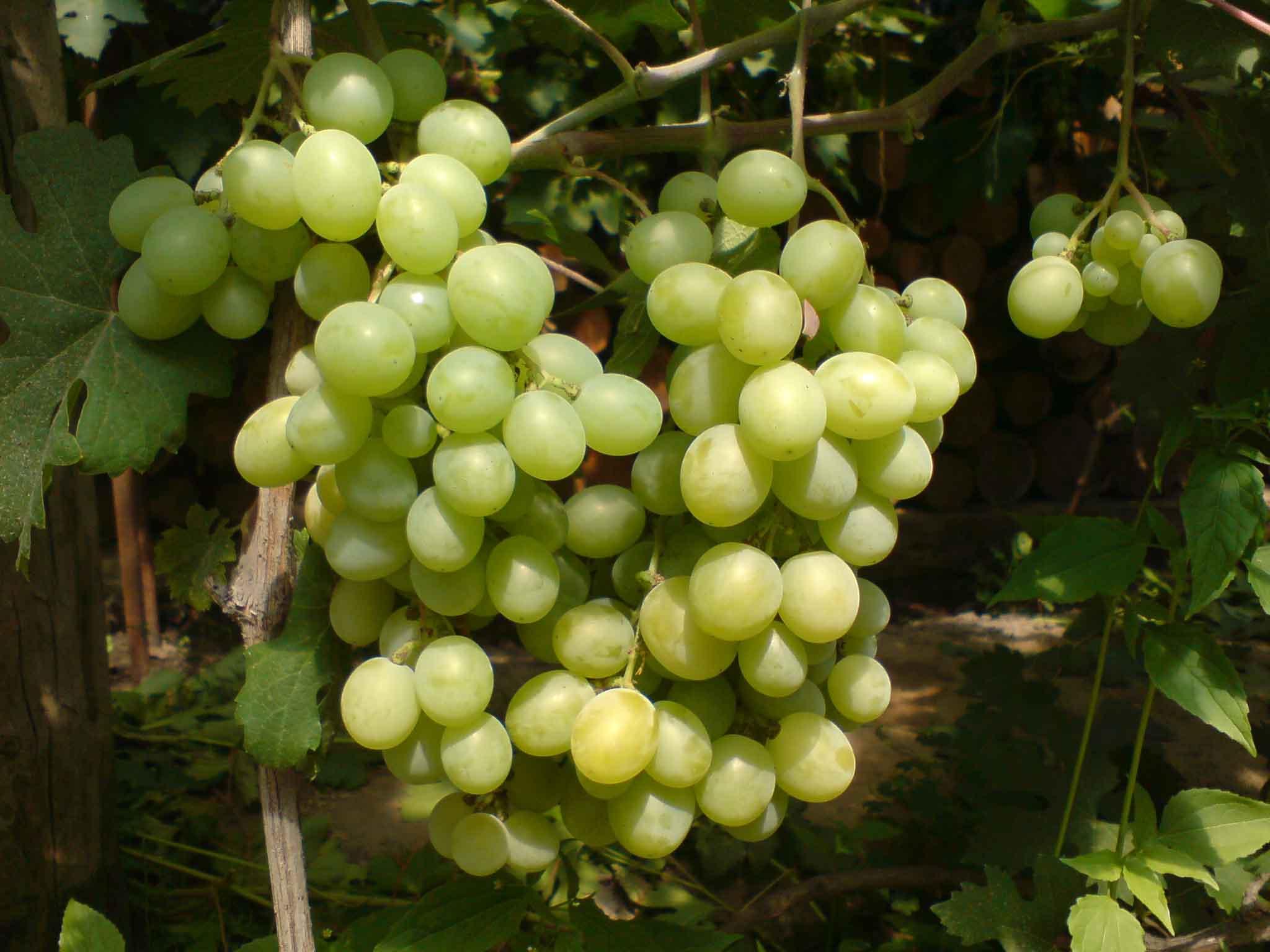 Виноград камелот свойства фото описание