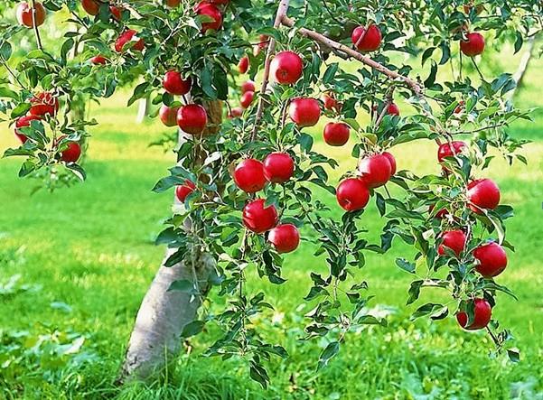 Яблоня мечта описание сорта фото отзывы