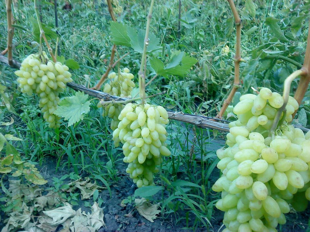 Виноград столетие описание и характеристики сорта кишмиша выращивание и уход